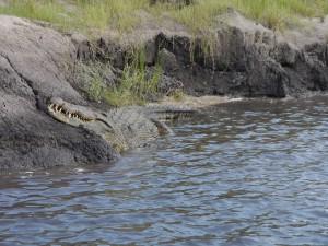 Zambezi-Queen-Krokodil