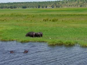 Zambezi-Queen-Nilpferde