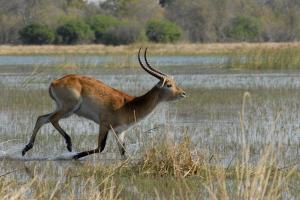 Antelope im Sprint