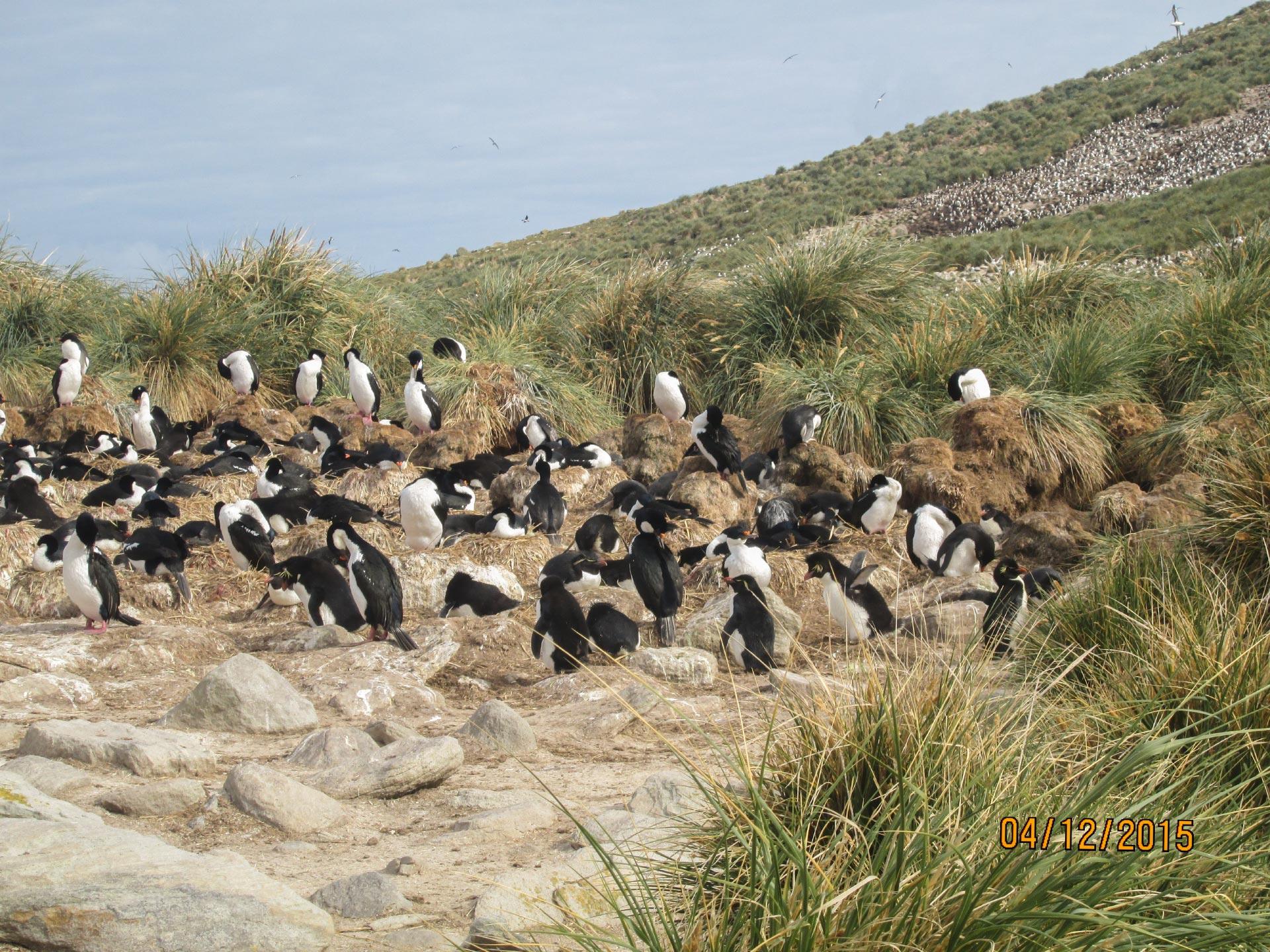 Pinguine auf den Falkland Inseln
