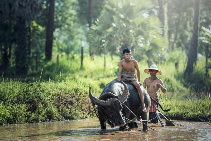 Myanmar Wasserbüffel Reisfeld