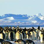 Königspinguine auf der Antarktischen Halbinsel