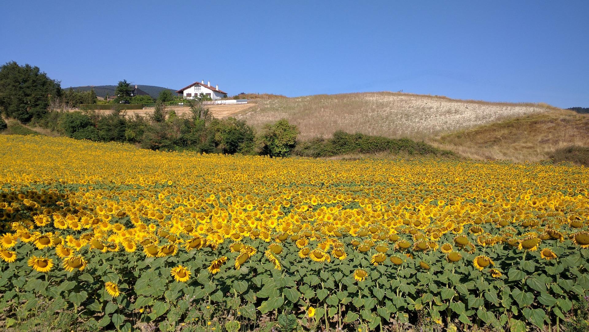 Sonnenblumen im Baskenland