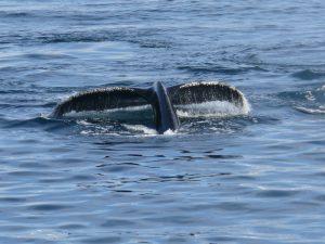 Wal im Antarktischen Meer
