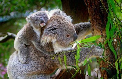 Koala Bär, Australien