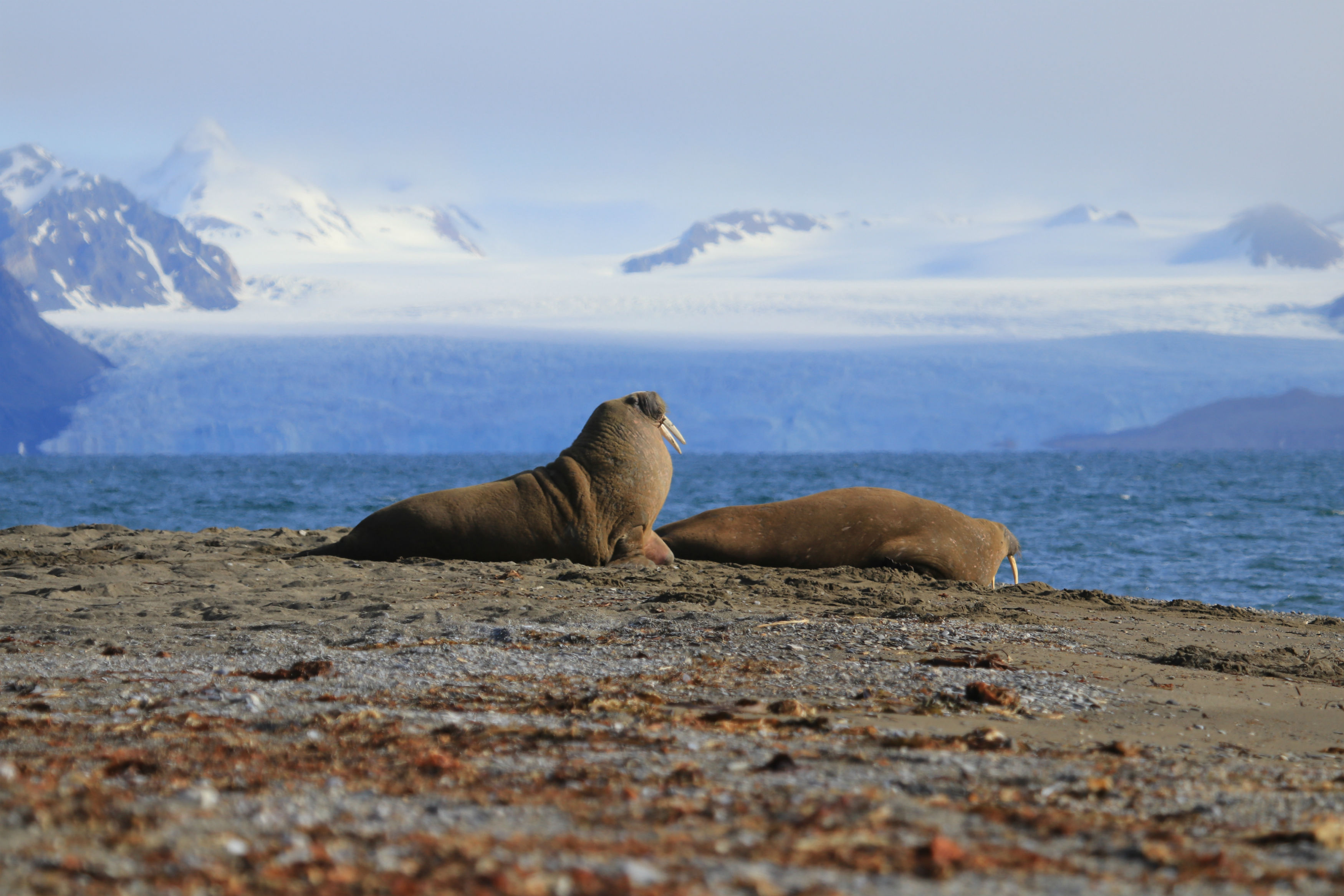 © Arnau Ferrer: Seerobben in Spitzbergen