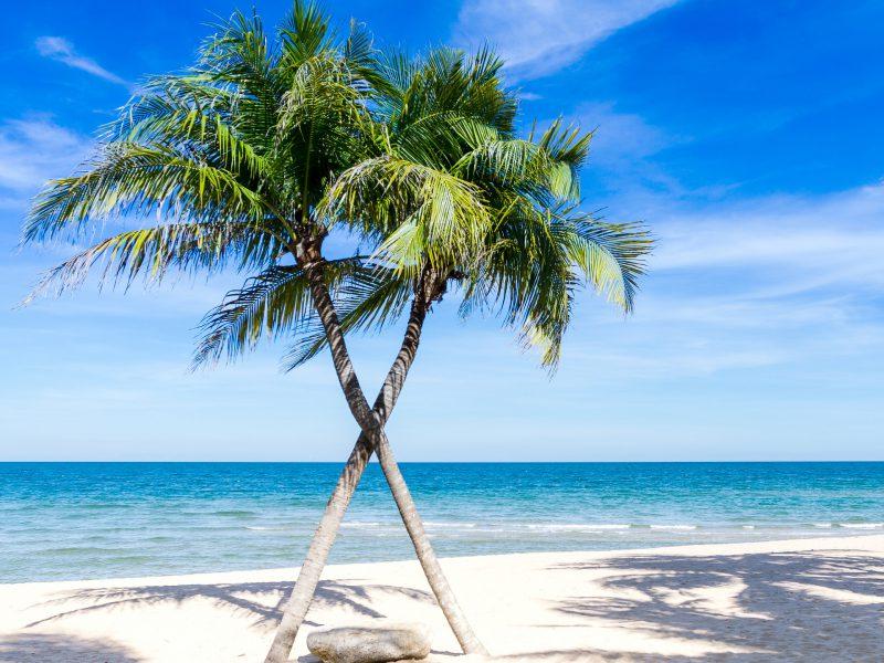 Palmen sind in der Karibik zahlreich zu finden