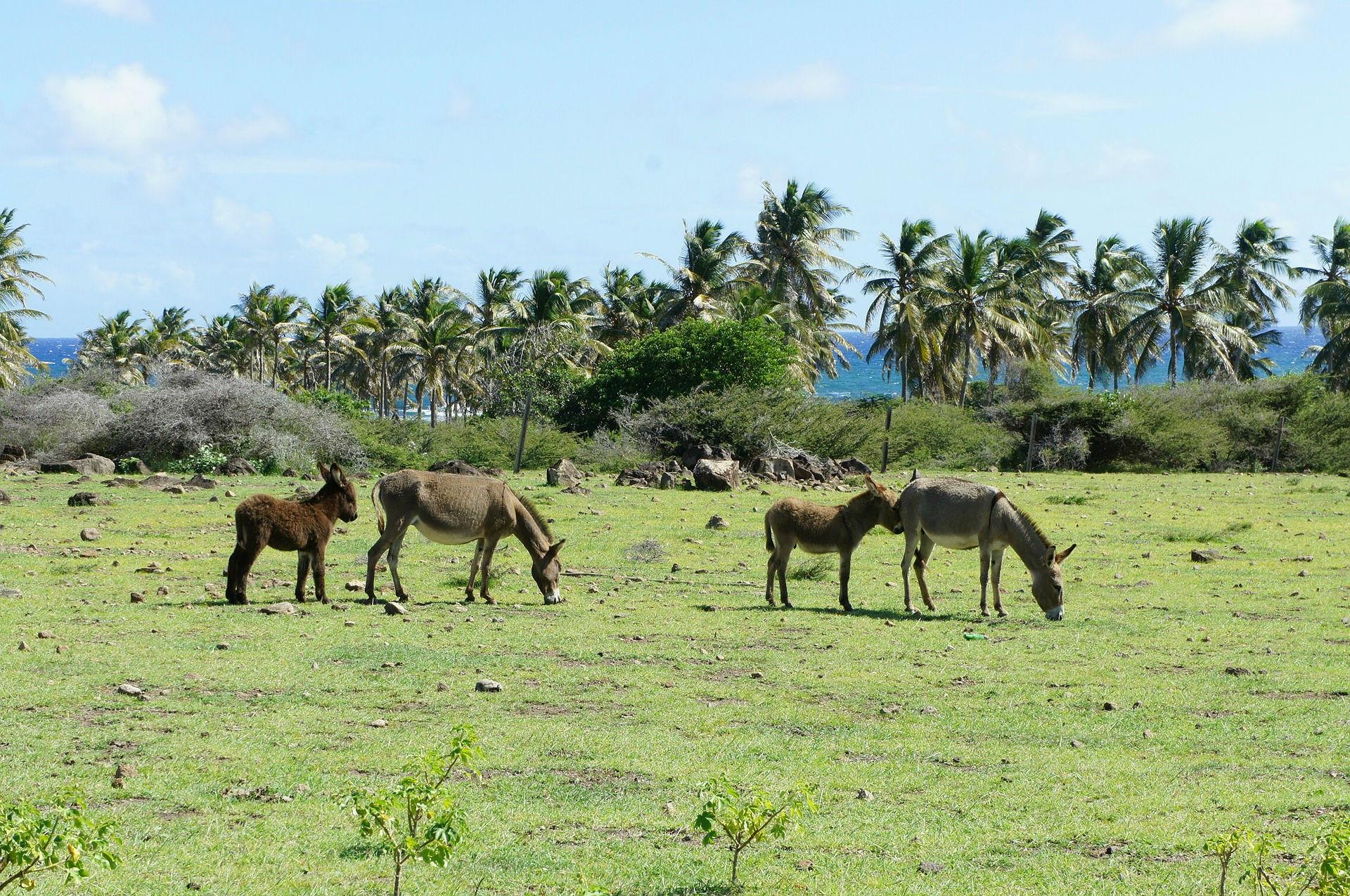 Freilebende Tiere auf St. Kitts und Nevis