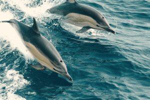 Delfine im Meer der Azoren