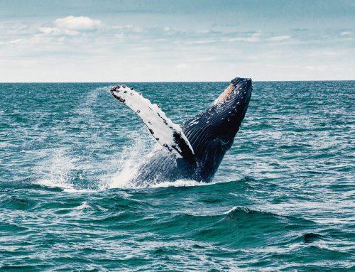 Reizvolle Bootstouren und Walbeobachtung auf den Azoren