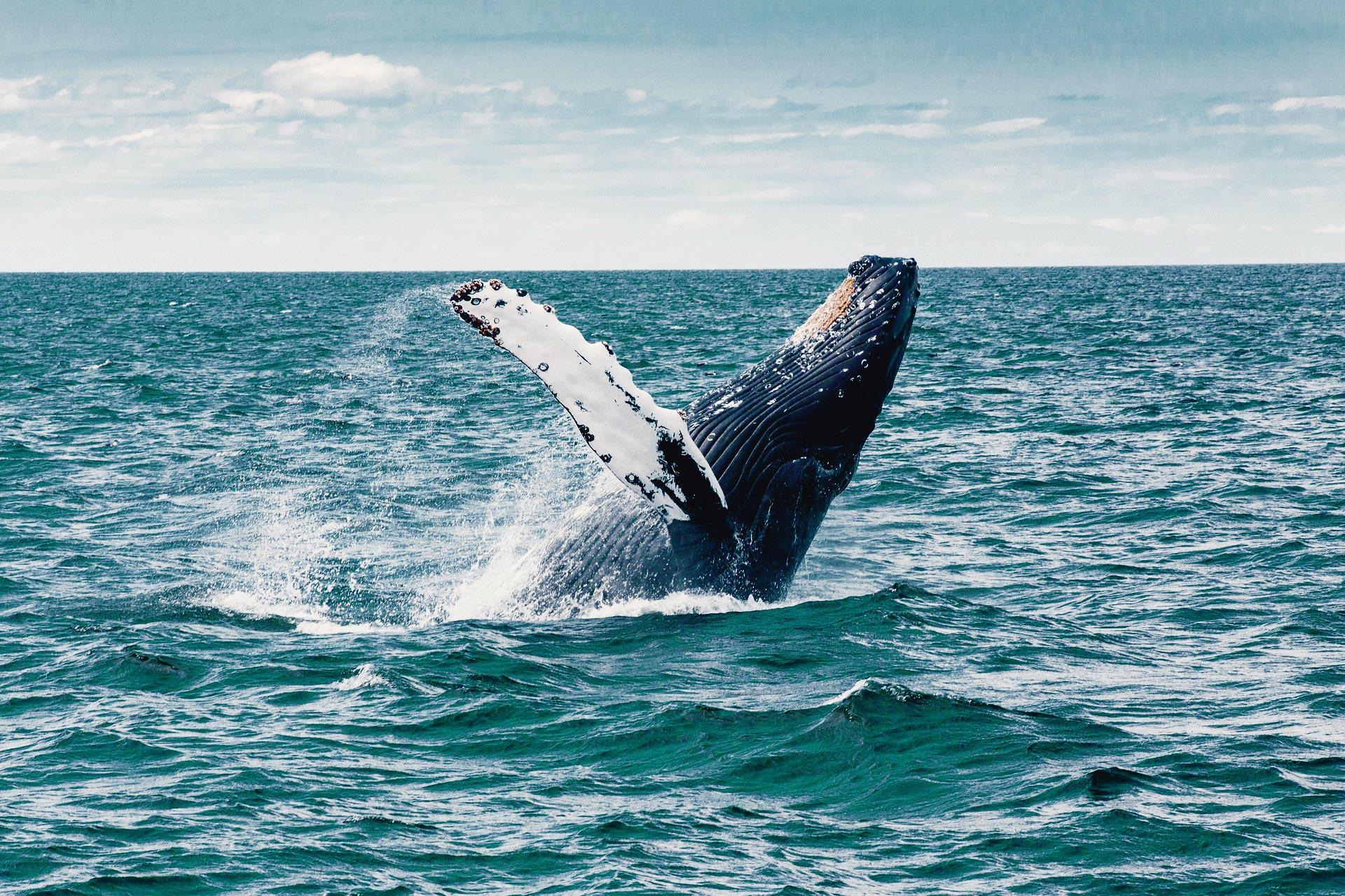 Der Wal im Azorenmeer