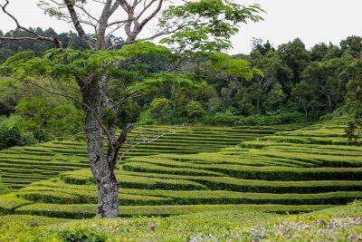 Die Teeplantage auf den Azoren