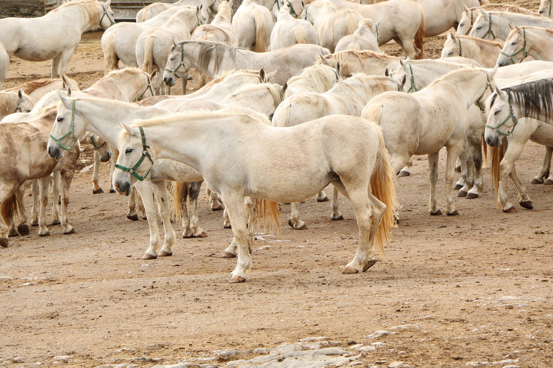 Lippizaner-Pferde
