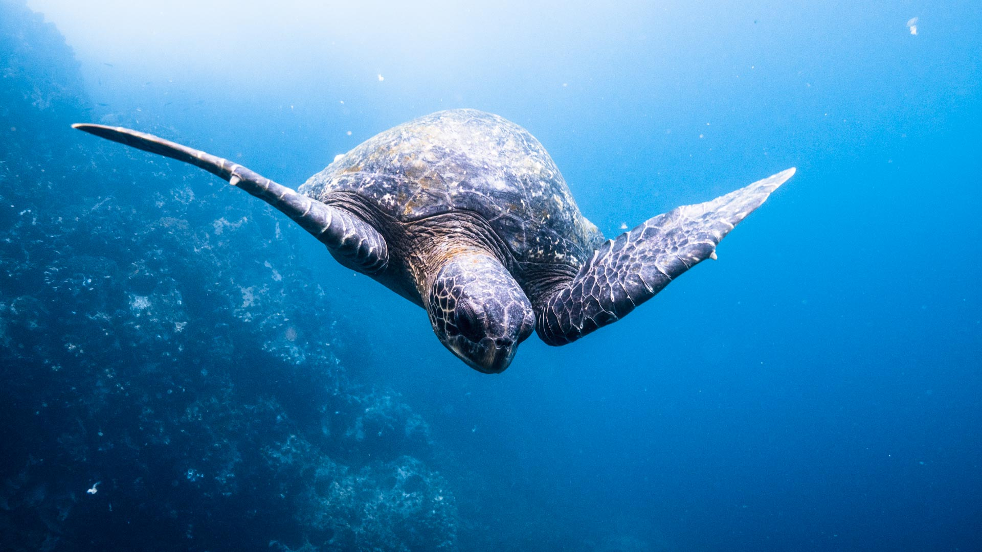 Galapagos, Meer-Schildkröte