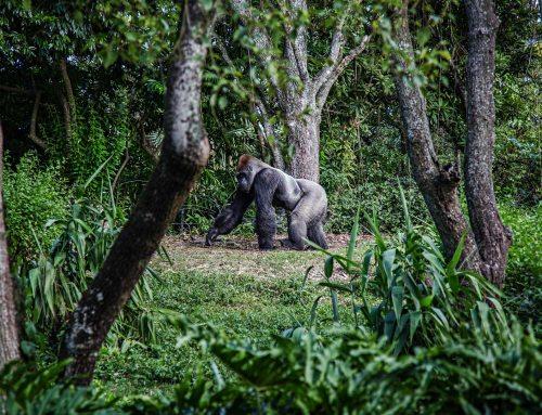 Die Berg-Gorillas von Uganda