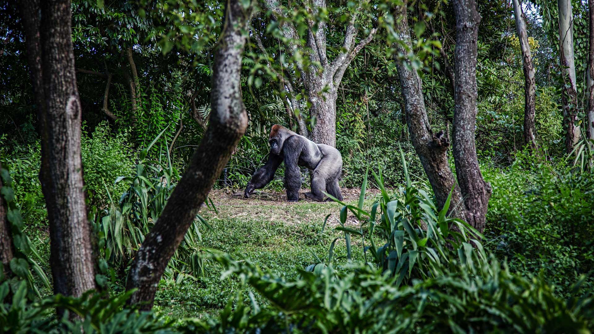 Mike Arney, Berggorillas in Uganda