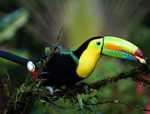 Über die Baumriesen Costa Ricas zu fliegen